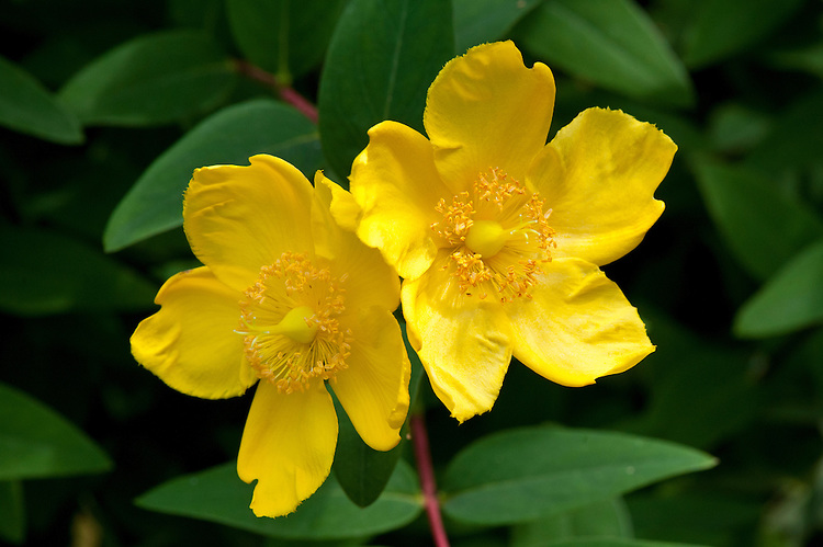 Bright yellow flowers of St John's wort (Hypericum 'Hidcote' syn. Hypericum patulum 'Hidcote Gold'), early August.