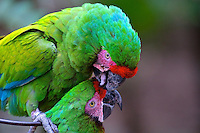 Preening green macaws