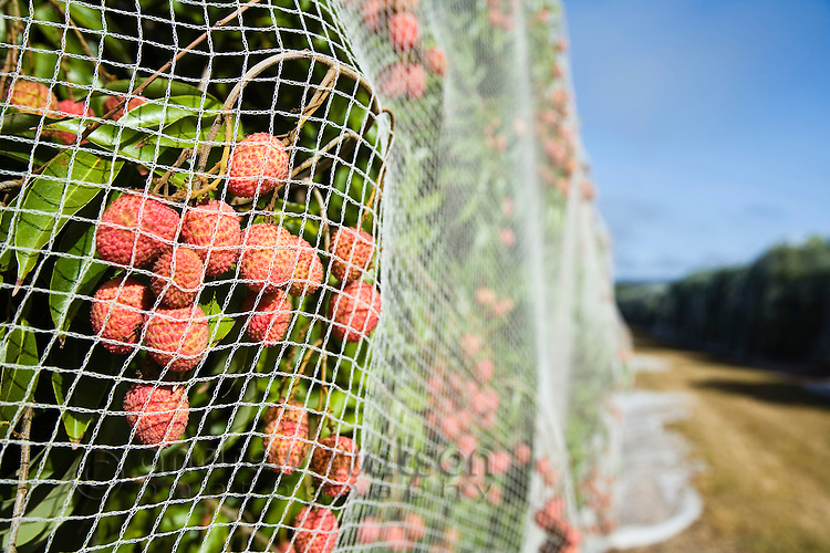 AUSTRALIA, Queensland, Mareeba.Lychee trees are covered by netting to protect the fruit from flying foxes and birdlife, at a farm near Mareeba in north Queensland.