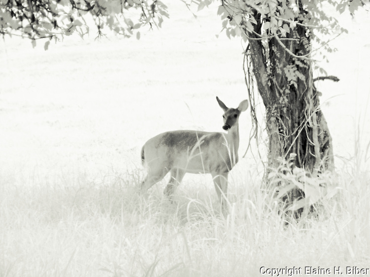 Doe under the pear tree, infrared photo