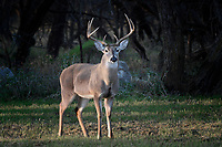 10 Point Whitetail Buck, San Angelo, Texas