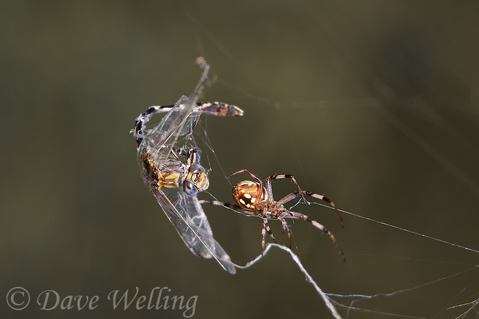 389030007 a wild male gray sanddragon progomphus borealis is trapped in an orb weaver possibly neoscona web  near a small hot springs in inyo county california