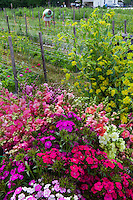 Cool season annual local flowers in harvest buckets at Lisa Ziegler's Gardener's Workshop farm; Newport News Virginia