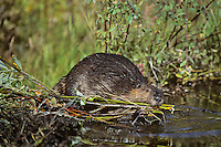 North American Beaver dragging willow branches back to lodge area for winter food.