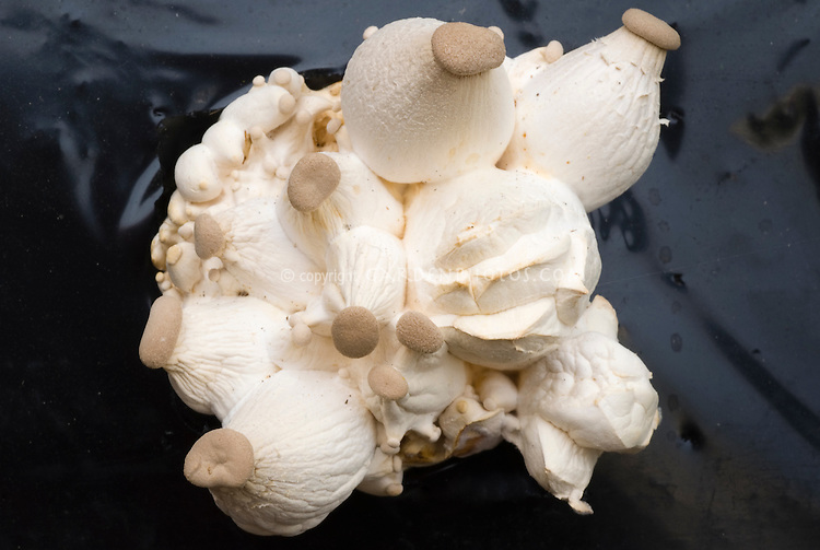 Mushroom King Oyster, Pleurotus eryngii, growing