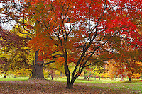 Fall colored Japanese Maple Tree flanked by some ancient Oaks at the Morton Arboretum In Lisle, IL