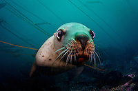 Stellers Sea Lion (Eumetpias jubatus) underwater at Race Rocks off Vancouver Island, British Columbia, Canada.