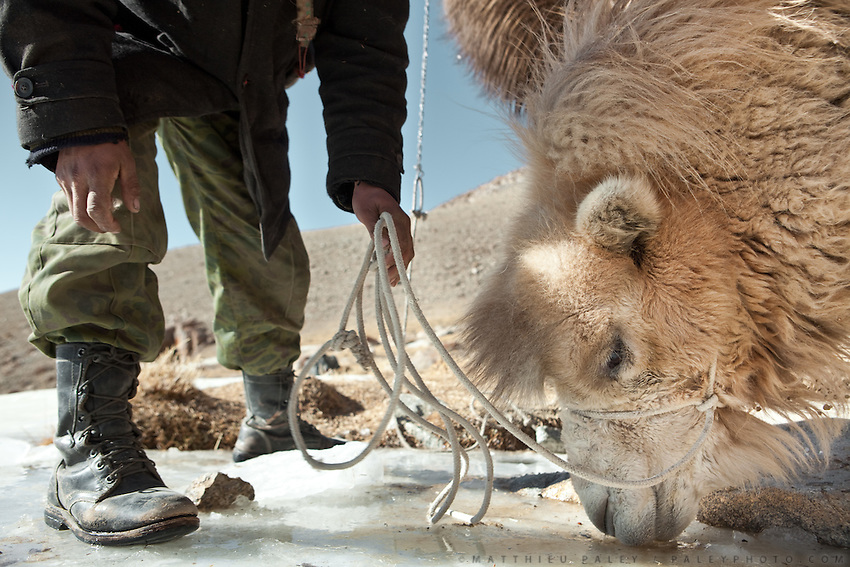 Young Kyrgyz man named Satwaldé is giving water to a Bactrian camel. Ech Keli, Er Ali Boi's camp, one of the richest Kyrgyz in the Little Pamir..Trekking with yak caravan through the Little Pamir where the Afghan Kyrgyz community live all year, on the borders of China, Tajikistan and Pakistan.
