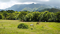 The Makaleha Mountains of Kaua'i form a majestic backdrop for horses grazing in a pasture in the Wailua Homesteads above Kapa'a town.