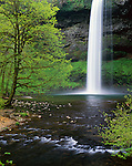 Silver Falls State Park, OR<br /> South Falls (177 ft) plunging into Silver Creek Canyon with Big Leaf Maple trees in spring