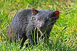 IMAGES OF AUSTRALIA Tasmanian Devil