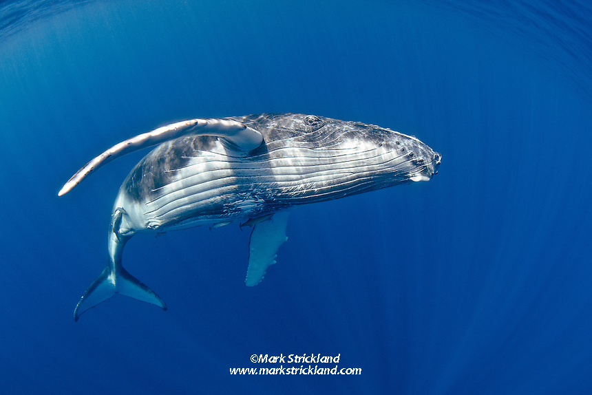 A baby Humpback Whale, Megaptera novaeanglae, cruises just below the surface. Ha'apai, Tonga, Pacific Ocean