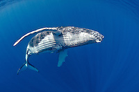 A baby Humpback Whale, Megaptera novaeanglae, cruises just below the surface. Ha'apai, Tonga, Pacific Ocean