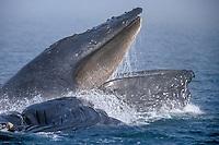 adult humpback whale, Megaptera novaeangliae, bubble net feeding, the fog, Icy Strait, Alaska, USA, Pacific Ocean