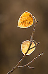 Frost-rimmed leaves of quaking aspen (Populus tremuloides), fall, Hope Valley, Toiyabe National Forest, California