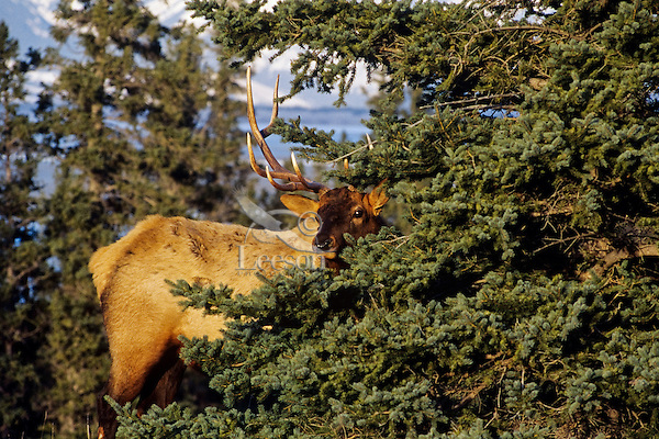 Rocky Mountain Elk (Cervis elaphus) bull, Northern Rockies.  Fall.
