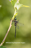 06556-00115 Clamp-tipped Emerald (Somatochlora tenebrosa) male Dent Co. MO