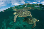 Split level of mating green turtles (Chelonia mydas) in the reef shallows.