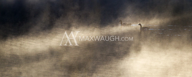 Canada geese float on the Yellowstone River on a foggy autumn morning.