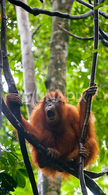 A Sumatran orangutan yawns, as if bored, perched amongst lianas in Gunung Leuser National Park.
