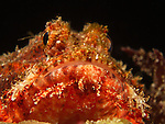 Gong Guan Harbor, Green Island -- Red scorpionfish at night waiting patiently for prey to swim by.