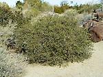 Jojoba Nut, Simmondsia chinensis, male, shrub in desert garden