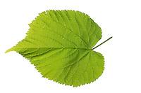Sommer-Linde, Sommerlinde, Linde, Tilia platyphyllos, Tilia grandifolia, large-leaved lime, Large Leaved Lime, largeleaf linden, large-leaved linden, Le tilleul à grandes feuilles. Blatt, Blätter, leaf, leaves