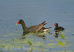 Common Gallinules (Gallinula chloropus), adult swimming with downy chick, Montezuma National Wildlife Refuge, New York, USA