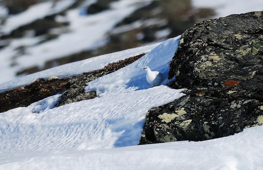 Winter ptarmigan,Norway