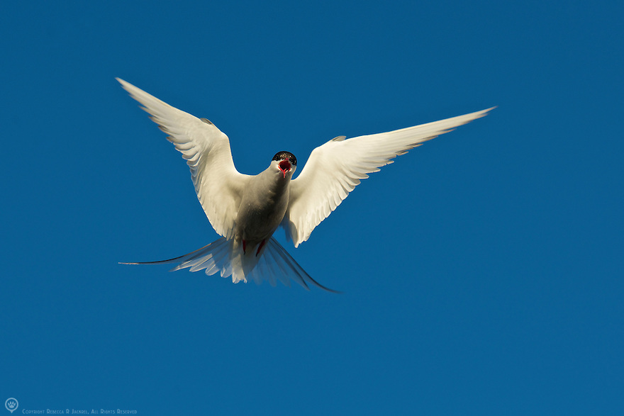 Arctic tern hovers in the air defending it's breeding territory from interlopers.