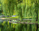 Swans and swan boats in the Public Garden, Boston, Massachusetts, USA