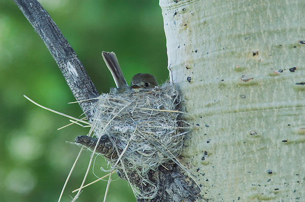 Western Wood-Pewee,Contopus sordidulus,adult on nest in aspen tree,Rocky Mountain National Park, Colorado, USA, June 2007