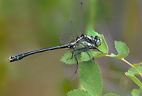 344000003 a wild male grappletail octogomphus specularis perches on a plant leaf along ash creek near ash creek campground lassen county california