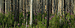 A panoramic photograph of the burnt, charred remains of trees after a forest fire and the regrowth years later of the forest in kootenay National Park, British Columbia, Canada.