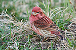 Male purple finch (Carpodacus purpureus) standing in the grass