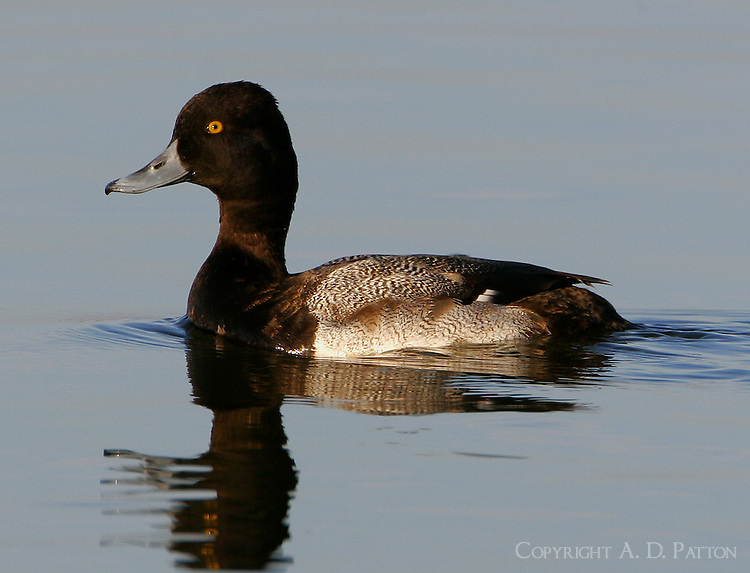 Adult male lesser scaup in non-breeding plumage