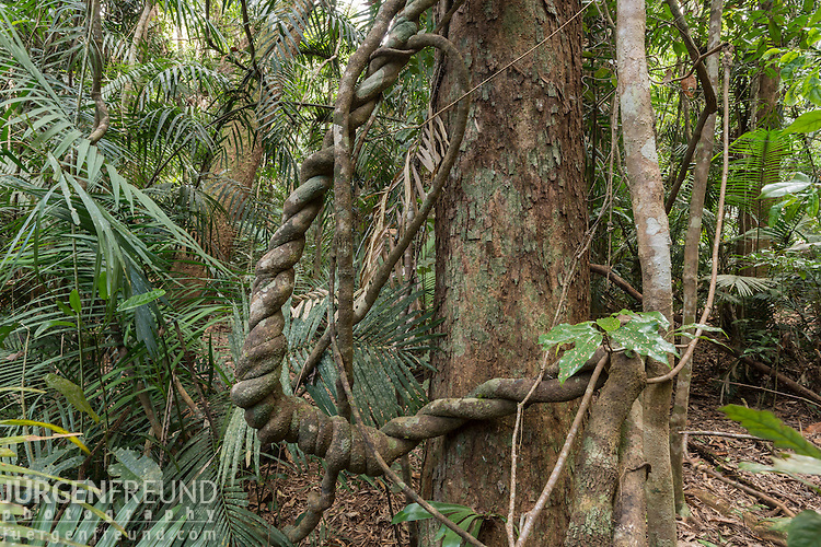 Liana - long-stemmed, woody vines rooted in soil and use trees as well as other means of vertical support, to climb up to the canopy to get access to well-lit areas of the forest.