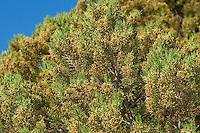 Phönizischer Wacholder, Rotfrüchtiger Wacholder, Juniperus phoenicea, Juniperus phoenicea turbinata, Juniperus turbinata, Phoenicean Juniper, Arâr, Genévrier de Phénicie, Genévrier de Lycie, Genévrier rouge