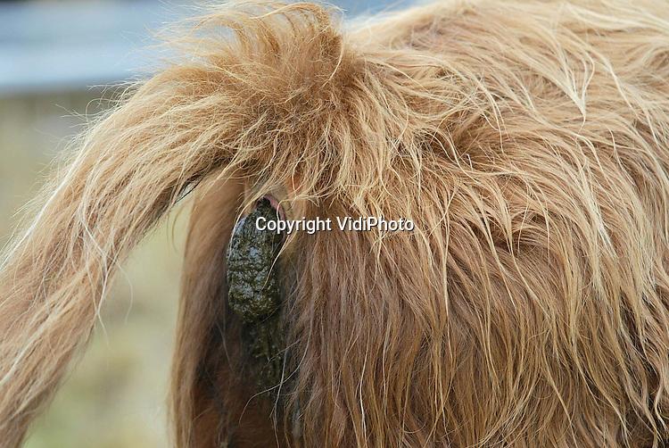 Foto: VidiPhoto..ARNHEM - De eerste Schotse Hooglanders uit natuurgebied Nationaal Park Veluwezoom zijn donderdag vertrokken naar drie andere natuurgebieden in ons land. De 225 dieren in de omgeving van Arnhem hebben in de winter te weinig voedsel. Donderdag zijn er 49 stuks verhuisd naar de Noordwest-Veluwe, Zuid-Limburg en West-Brabant. In totaal worden er de komende weken 144 dieren hooglanders verplaatst naar andere Nederlandse natuurgebieden. Minister Veerman van LNV heeft toestemming gegeven voor de verhuizing, mits de dieren een oormerk zouden krijgen.