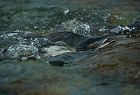 Pink Salmon spawn in a small, clear water stream along Prince William Sound, Alaska.