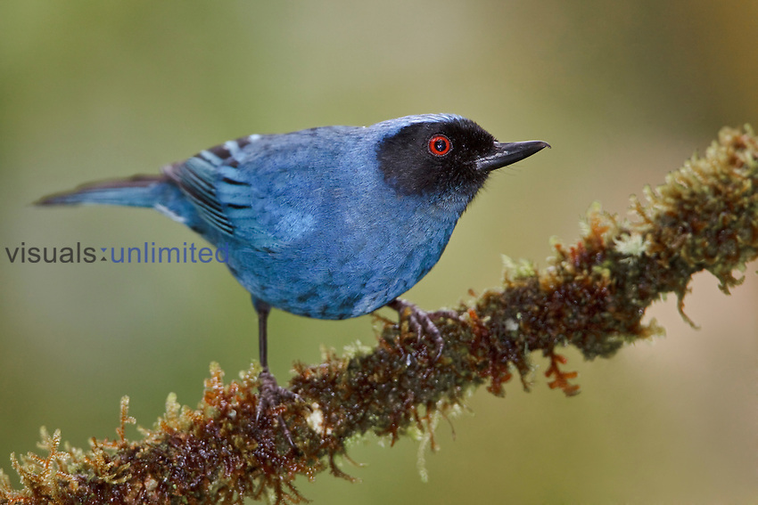 Masked Flowerpiercer (Diglossopis cyanea) perched on a branch, Tapichalaca Reserve, Ecuador.