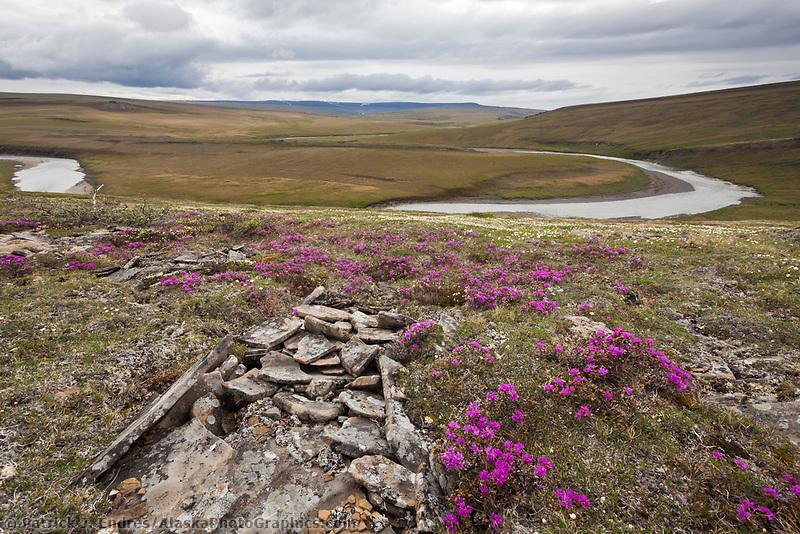 Lapland rosebay and the Utukok river, National Petroleum Reserve Alaska, Arctic, Alaska.