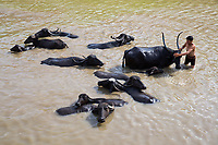 A man washes his water buffalo is a small lake in the drought-hit region of Latur, Maharashtra, western India.