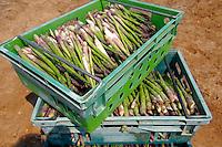 Fresh asparagus in the fields. Funky stock photos