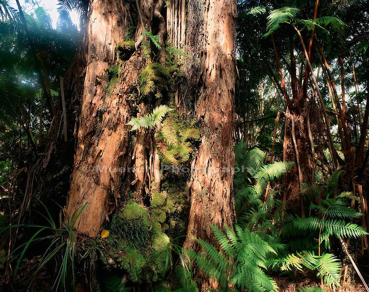 """""""Koa and Hapuu fern, Ola a Rainforest, Hawaii Hawaii Volcanoes NP  HAWAII"""""""