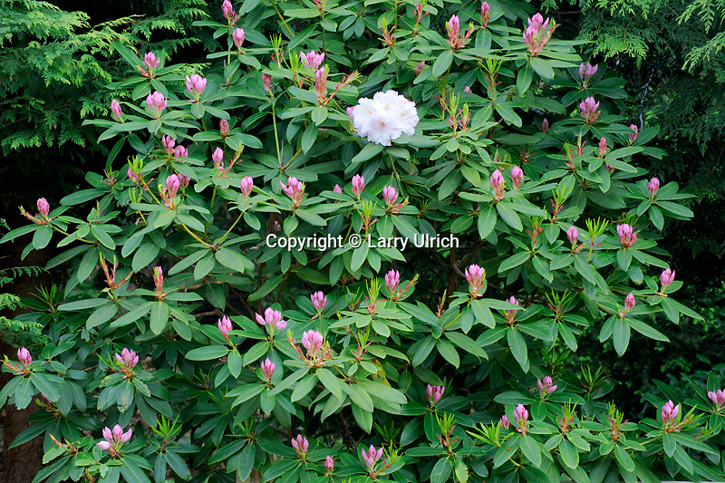 Mrs. G. W. Leak rhododendron<br />