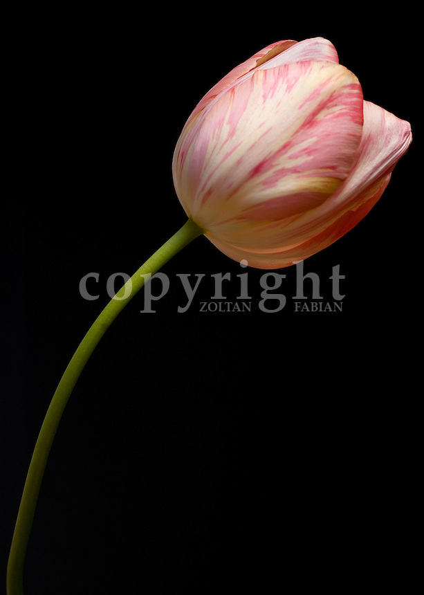 White-pink tulip flowerhead with green stem at dark background