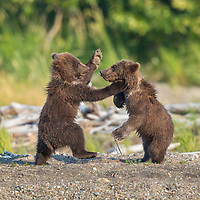 Brown bear spring cubs playfight in Katmai National Park, Alaska