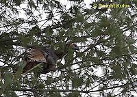 1Z09-501z  Wild Turkey roosting in tree, Meleagris gallopavo