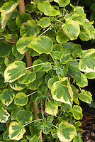 Hydrangea anomala subsp. petiolaris Miranda, climbing hydrangea vine